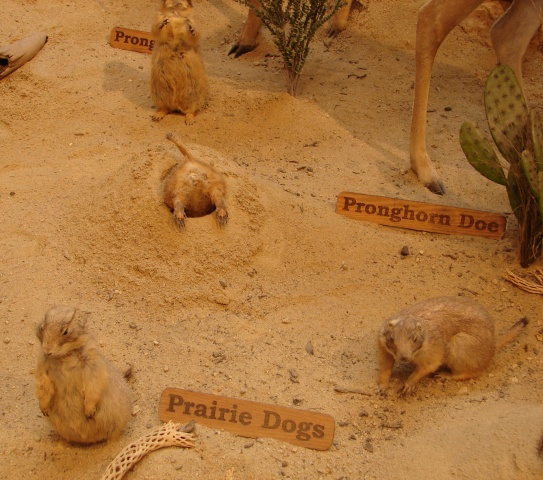 Prairie dog display at Cabela's (Wells, Maine)