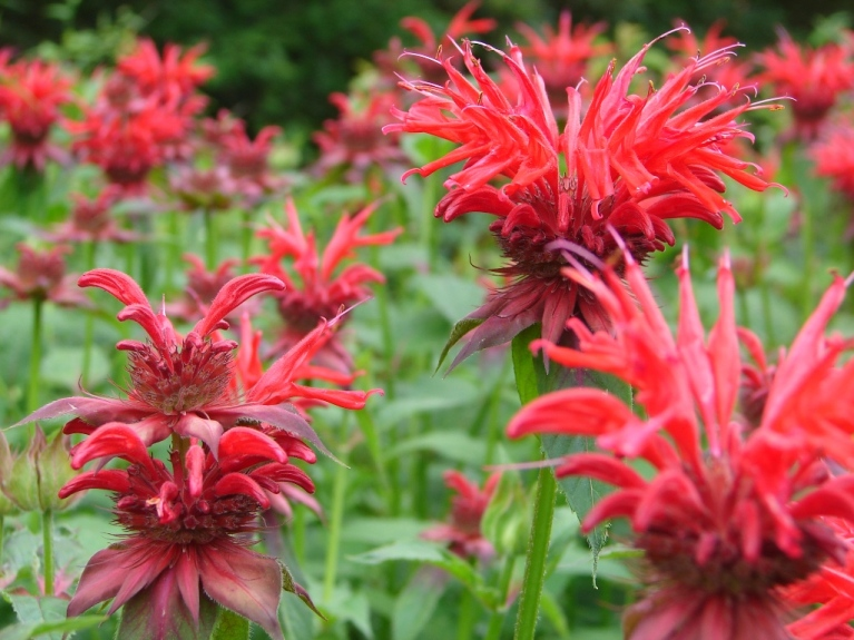 Great spiky red heads of bee balm, like fireworks in the garden