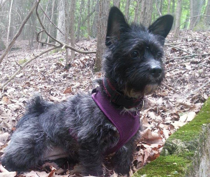 Dixie--a small, black, mixed-breed dog wearing a purple harness